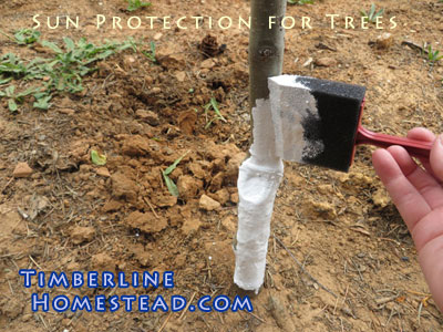 How to protect trees from sunburn timberline homestead - White painted tree trunks ...
