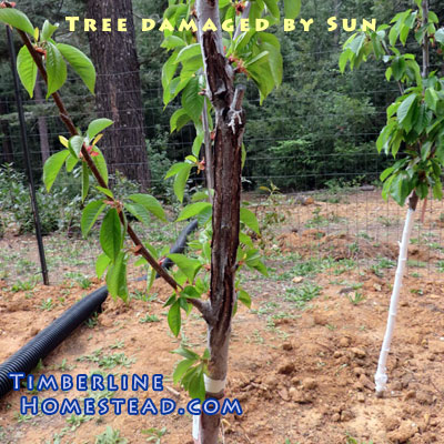 How to protect trees from sunburn timberline homestead - Protecting fruit trees in winter ...