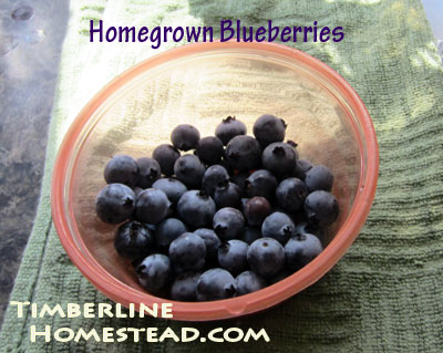 blueberry-harvest
