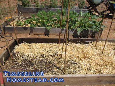 late-crop-beans