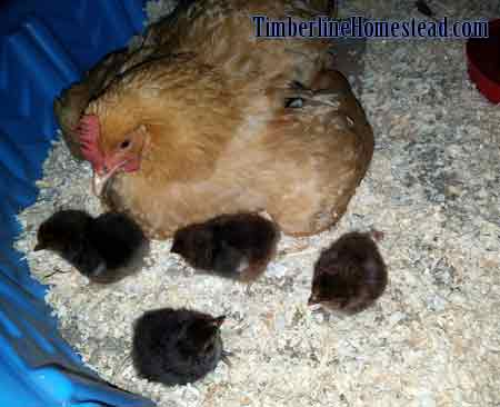 broody-hen-hatchlings