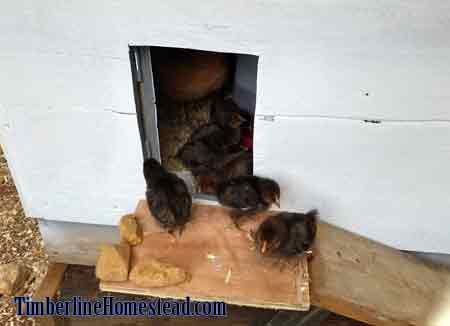 chicks-brooding-outside